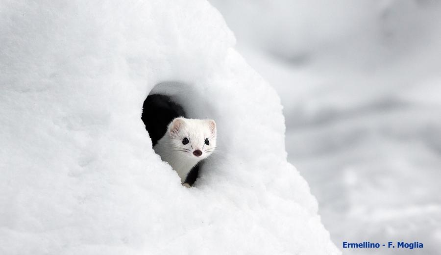 Ermellino in inverno