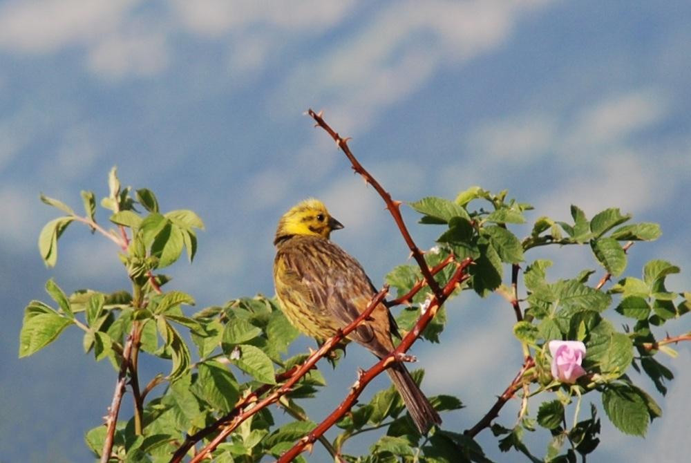 Zigolo giallo (r. ribetto)