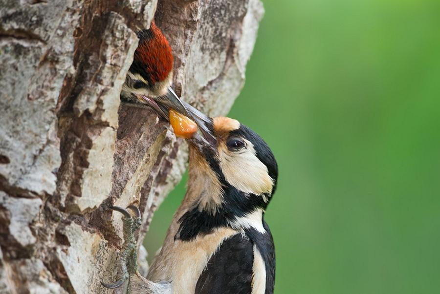 Picchio rosso maggiore al nido