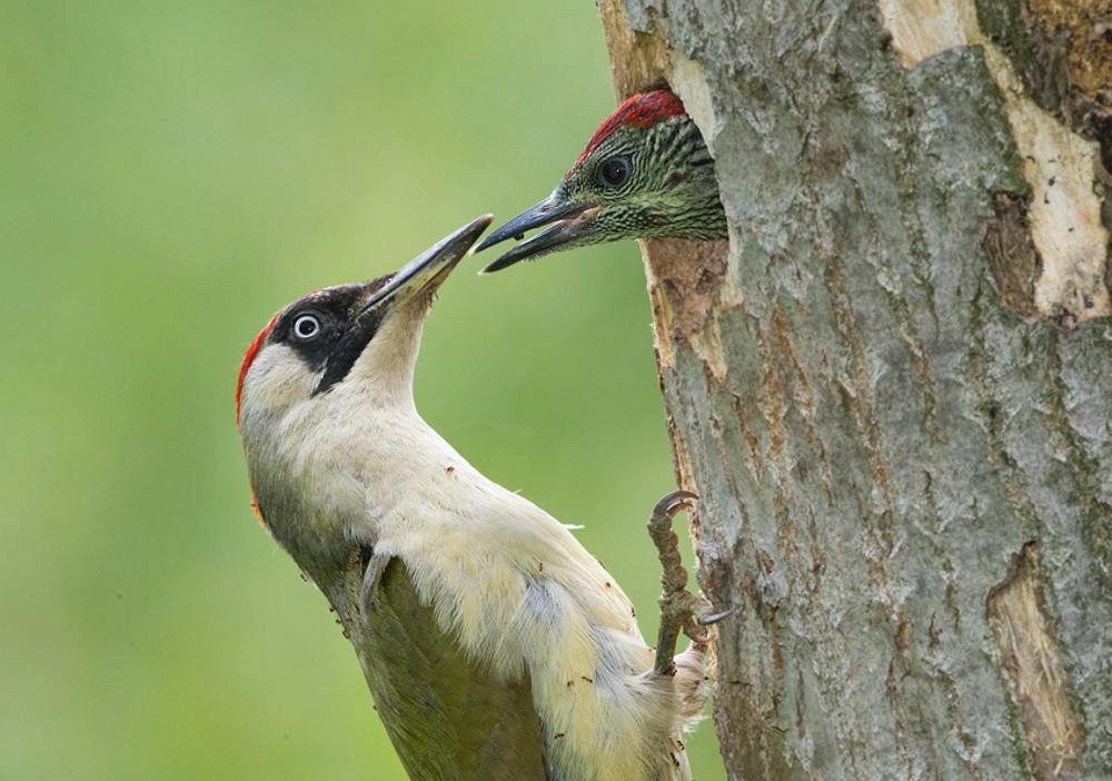 Picchio verde mamma con piccolo