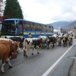 Mucche in parata a Dubbione