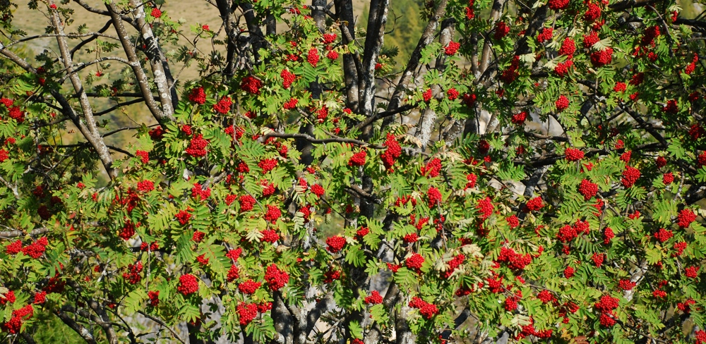 Frutti di pissera sulle foglie verdi