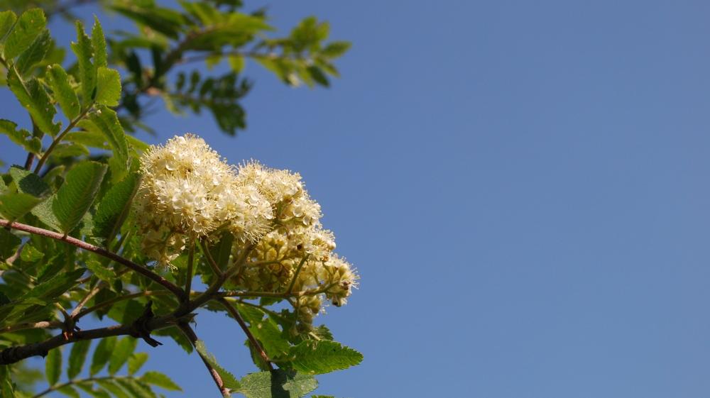 Fiore di pissera