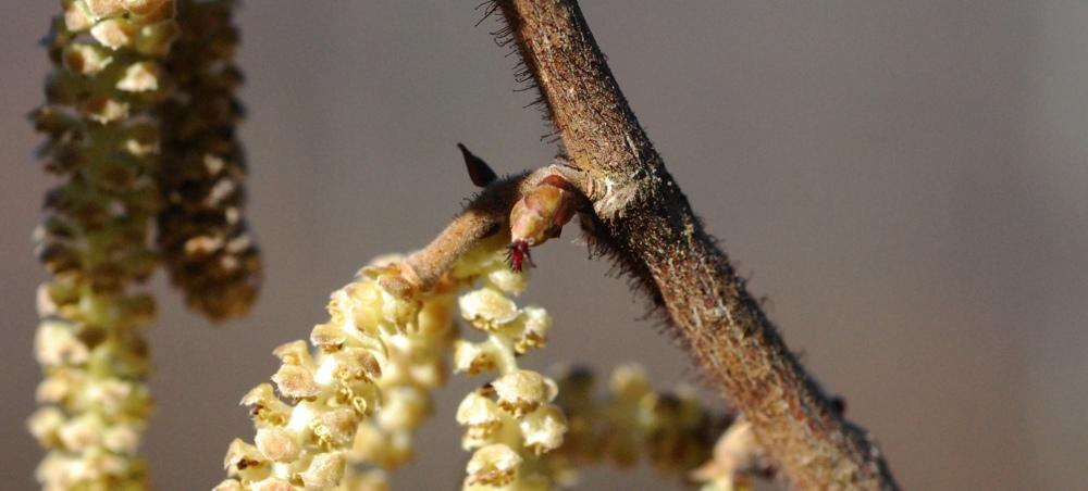 Nocciolo, fiore femminile