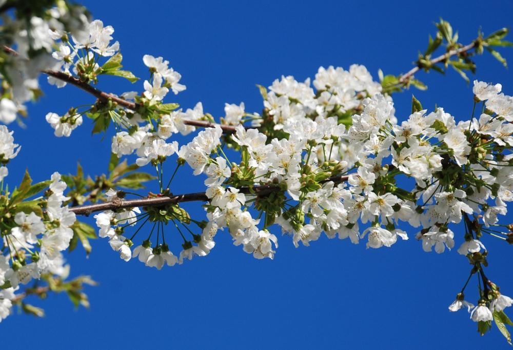 Bianco ciliegio