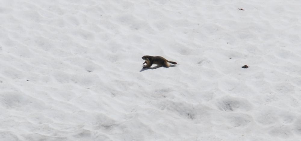Marmotta sulla neve