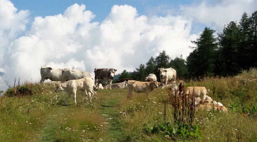 Mucche a Sapatlé