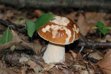 'Bulei' – Funghi